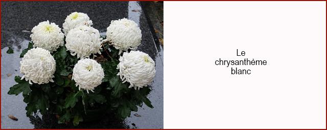 Chrysanthème blanc 640